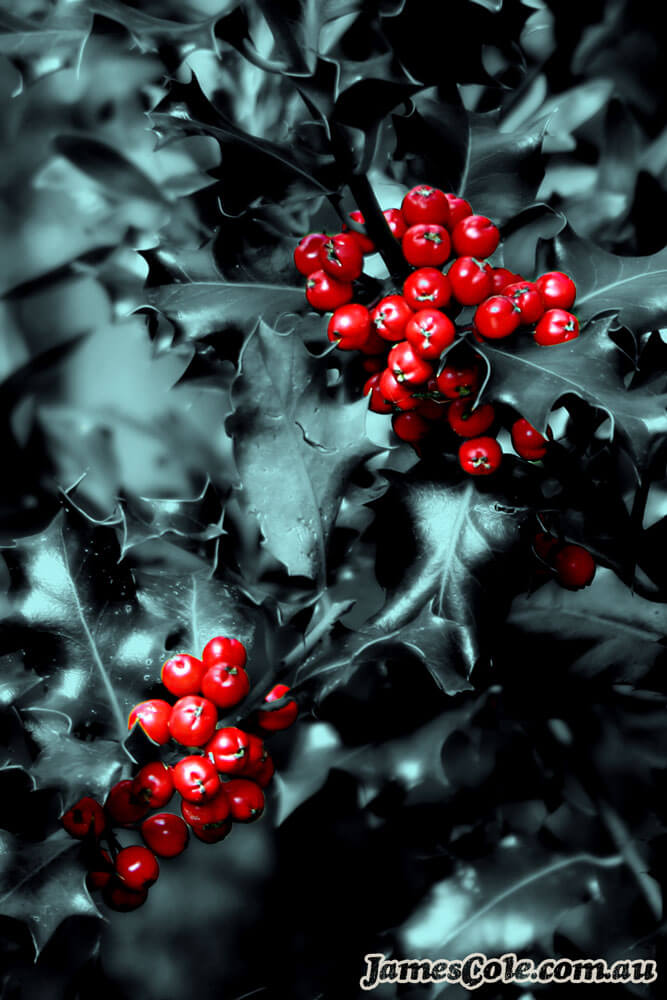 Red Berries - Plant Photography by James Cole