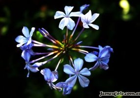 Agapantha Blue